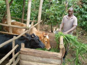 Mbale_Beneficiary involved in zero grazing project